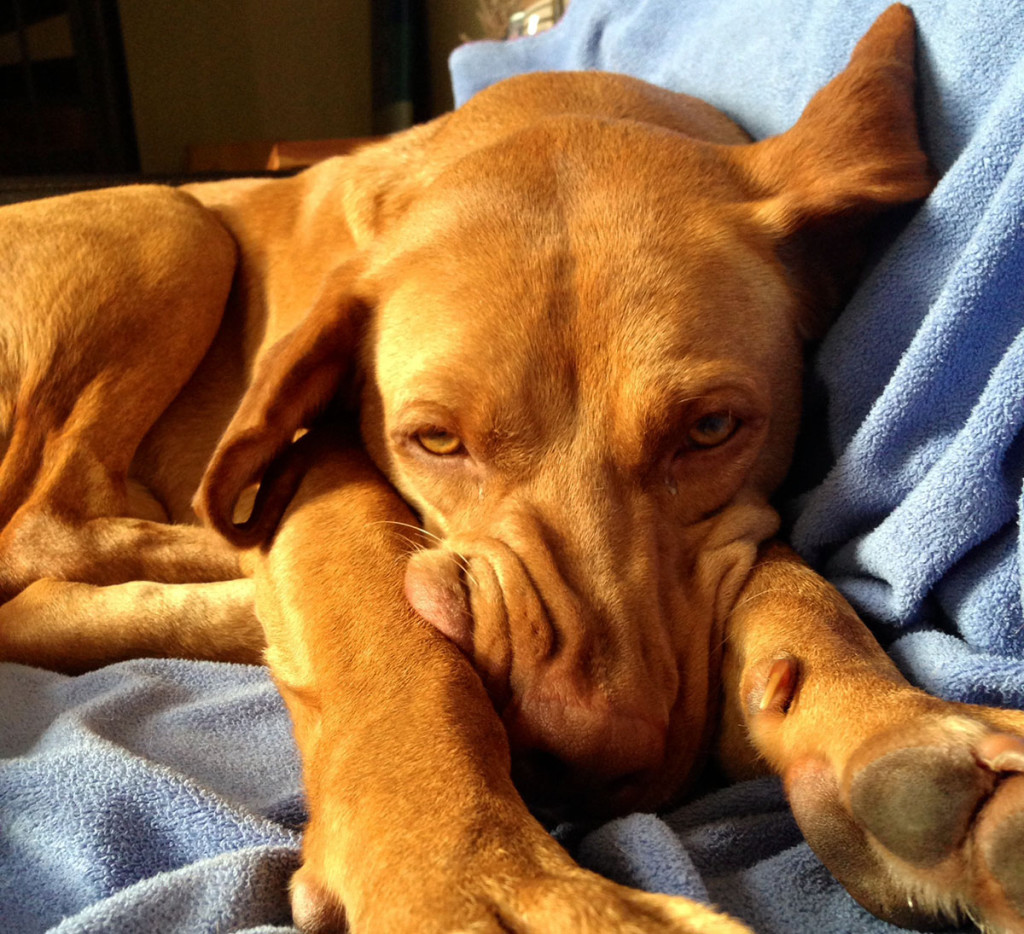 Remi the Vizsla's skills include making himself insanely comfortable.